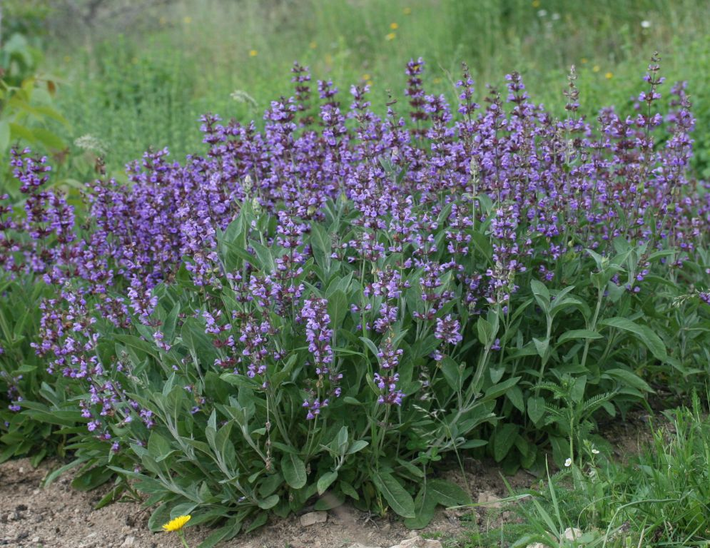 სალბი (Salvia officinalis)
